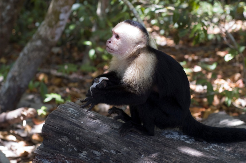Wild capuchin monkey eating a lizard