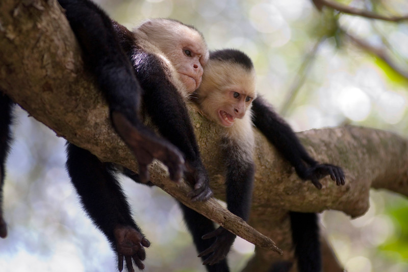 Two capuchin monkeys laying in a tree - one is growling and hissing
