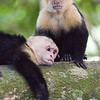 Capuchin monkey family