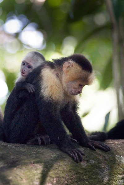 Capuchin monkey - mother and baby monkeys