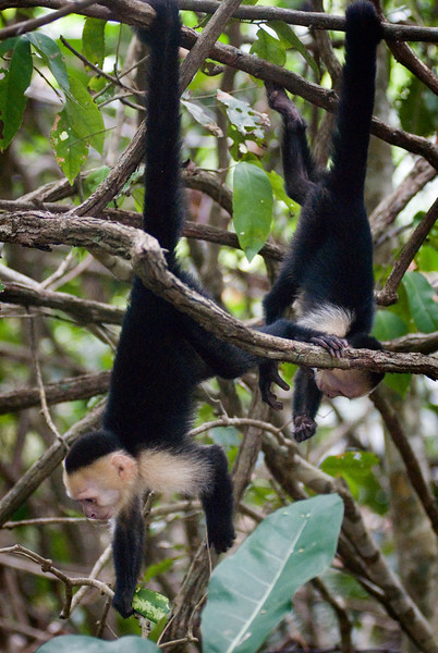 Wild Capuchin Monkeys - two monkeys hanging by their tails