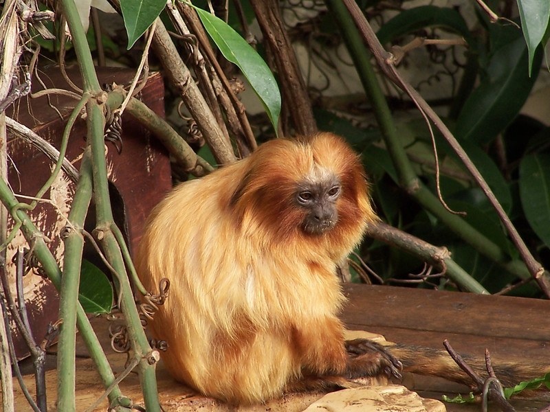 Golden Lion Tamarin<br /> Professional Wildlife Photography by Christina Craft of the Nature Stock Photography Library