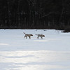 Dogs and their owners walk around the cranberry bog (no longer farmed as of 2017) on Curve Street in Carlisle. Labs Milo, left, and Hazel, right, run on the frozen pond. (SUN/Julia Malakie)
