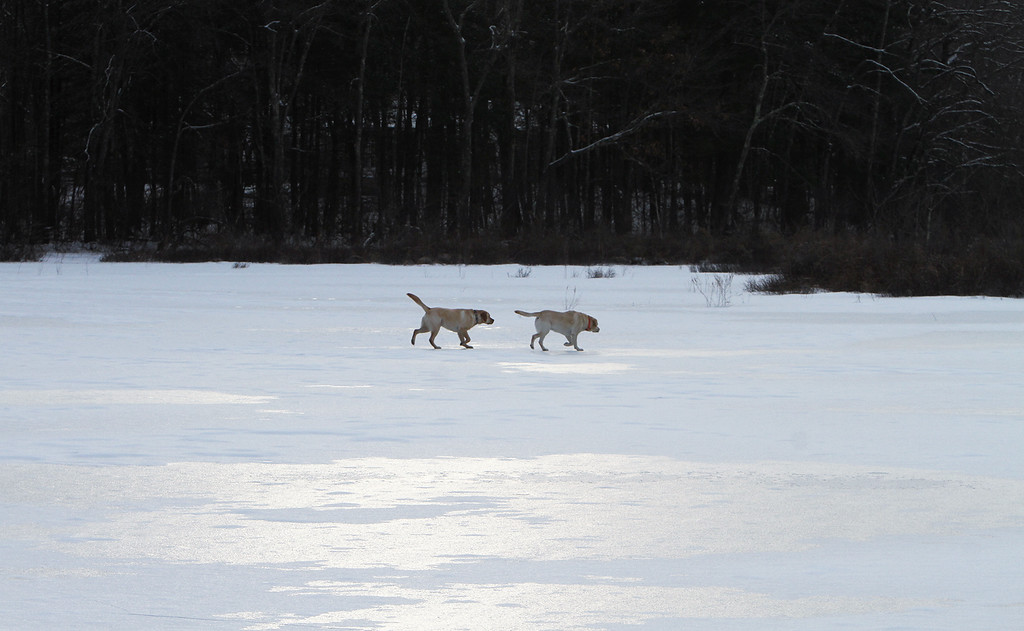 . Dogs and their owners walk around the cranberry bog (no longer farmed as of 2017) on Curve Street in Carlisle. Labs Milo, left, and Hazel, right, run on the frozen pond. (SUN/Julia Malakie)