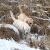 Dogs and their owners walk around the cranberry bog (no longer farmed as of 2017) on Curve Street in Carlisle. Labradors Shelby, left, and Milo, right, who belong to David and Laura Scarbro of Carlisle, play in the bog. (SUN/Julia Malakie)