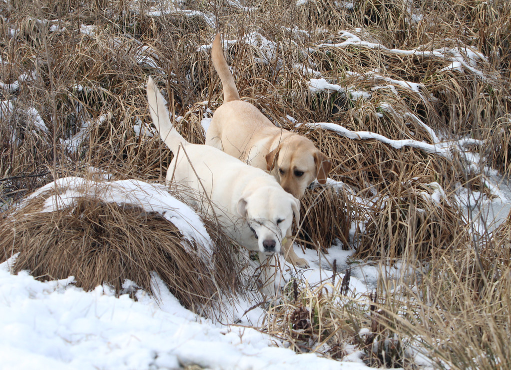 . Dogs and their owners walk around the cranberry bog (no longer farmed as of 2017) on Curve Street in Carlisle. Labradors Shelby, left, and Milo, right, who belong to David and Laura Scarbro of Carlisle, play in the bog. (SUN/Julia Malakie)