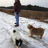 Dogs and their owners walk around the cranberry bog (no longer farmed as of 2017) on Curve Street in Carlisle. Debbie Kritzler of Chelmsford, with her Irish Shortie Jack Russell terrier Willie, left, and border terrier Penny, right.(SUN/Julia Malakie)