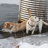 Dogs and their owners walk around the cranberry bog (no longer farmed as of 2017) on Curve Street in Carlisle.  Milo, left, and Shelby, right, who belong to David and Laura Scarbro of Carlisle, play in the pond near the water intake for the cranberry bog. (SUN/Julia Malakie)