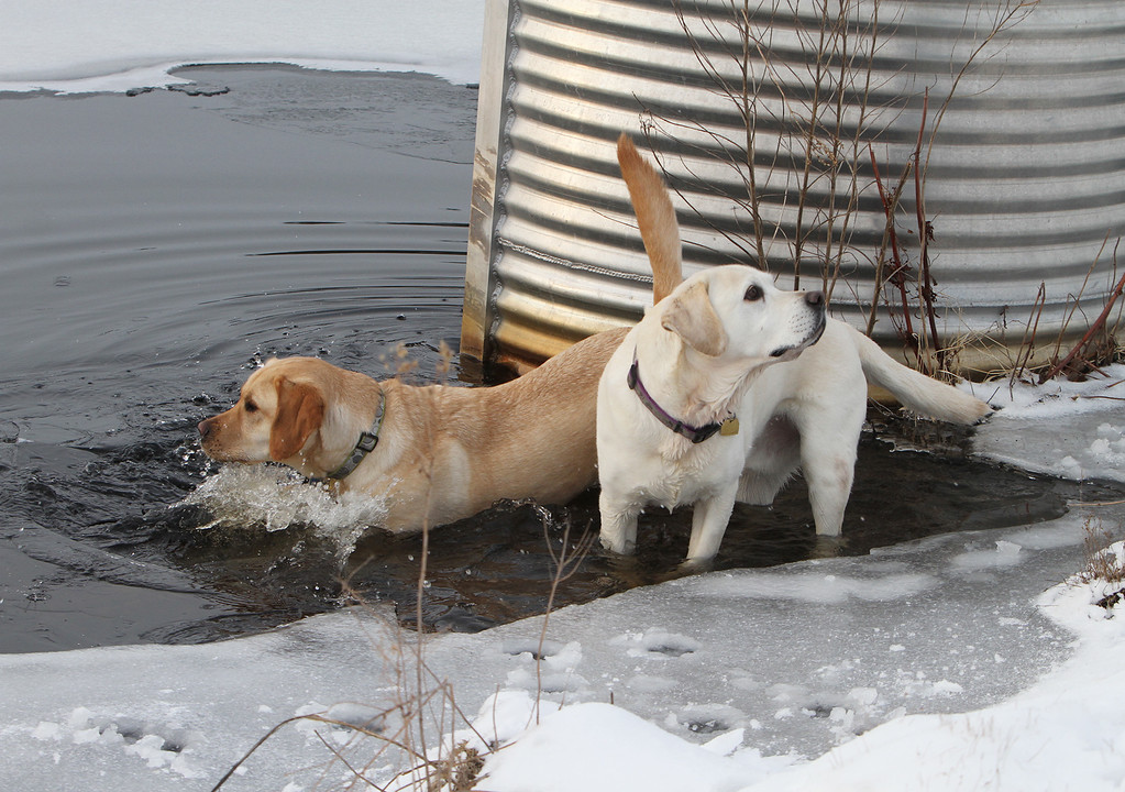 . Dogs and their owners walk around the cranberry bog (no longer farmed as of 2017) on Curve Street in Carlisle.  Milo, left, and Shelby, right, who belong to David and Laura Scarbro of Carlisle, play in the pond near the water intake for the cranberry bog. (SUN/Julia Malakie)