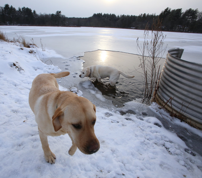 Dogs and their owners walk around the cranberry bog (no longer farmed as of 2017) on Curve Street in Carlisle.  Milo, front, and Shelby, rear, who belong to David and Laura Scarbro of Carlisle, play in the water near the intake for the cranberry bog. (SUN/Julia Malakie)