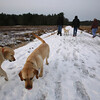 Dogs and their owners walk around the cranberry bog (no longer farmed as of 2017) on Curve Street in Carlisle. It's a very popular dog-walking loop. Labradors Hazel, left, who belongs to Jay Patrick of Carlisle, and Milo, right, who belongs to David and Laura Scarbro of Carlisle. (SUN/Julia Malakie)