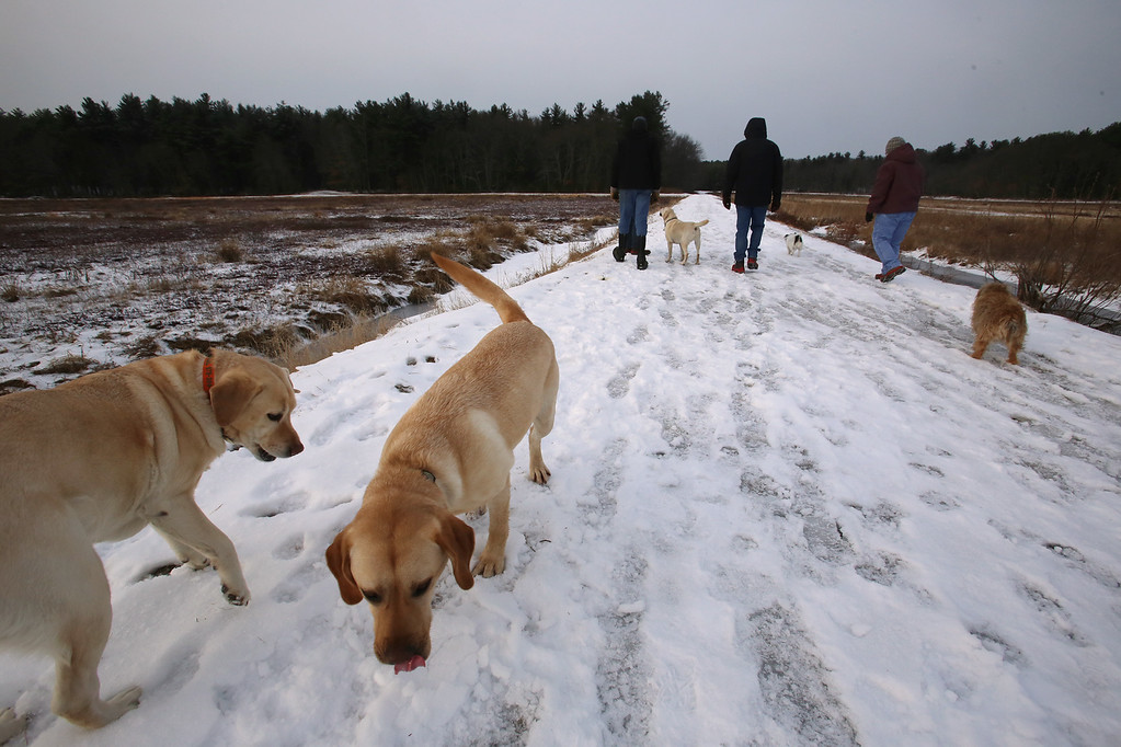 . Dogs and their owners walk around the cranberry bog (no longer farmed as of 2017) on Curve Street in Carlisle. It\'s a very popular dog-walking loop. Labradors Hazel, left, who belongs to Jay Patrick of Carlisle, and Milo, right, who belongs to David and Laura Scarbro of Carlisle. (SUN/Julia Malakie)