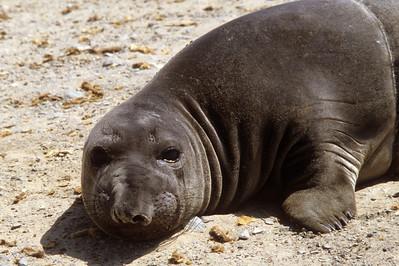 Northern Elephant Seal (Mirounga angustirostris) San Benito, Baja California, 1980