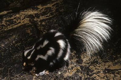 Western Spotted Skunk (Spilogale gracilis) probably in Utah, 23 November 1954