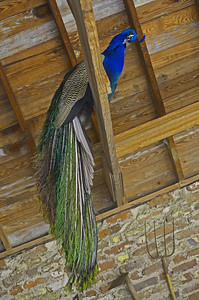 Peacock at Middleton
