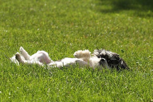 Pepper (Canis lupis familiaris)