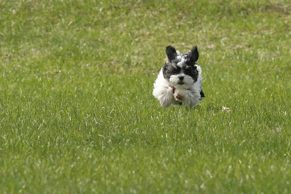 Pepper Running #1 (Canis lupis familiaris)