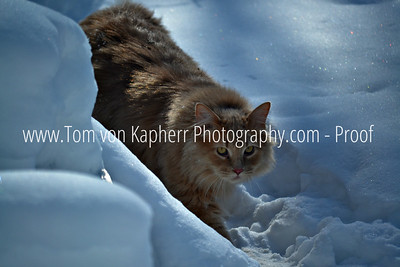 Cats in Snow  by Tom von Kapherr Photography www.tomvonkapherrphotograpy.com