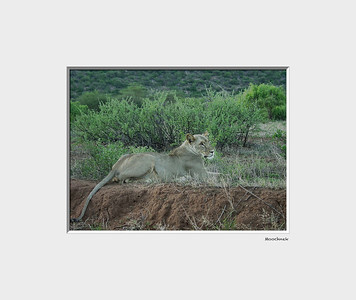 This was taken 10 yrs ago in Kenya whilst on safari. We were in our land rovers and my wife Beth spotted this lioness about 10 feet from us.. She is quite the famous lion we were to find out later. There were published stories about about her. She would steal a baby Oryx from there group and raise the baby as her own and later release them.