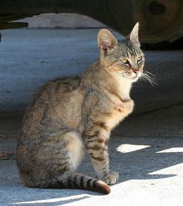 8519 Lil Tiger aka Lily