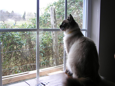 Mischief sitting on my sewing cabinet looking at the birds in the hedge.  Pure torture to be stuck inside the window! Used 9/12