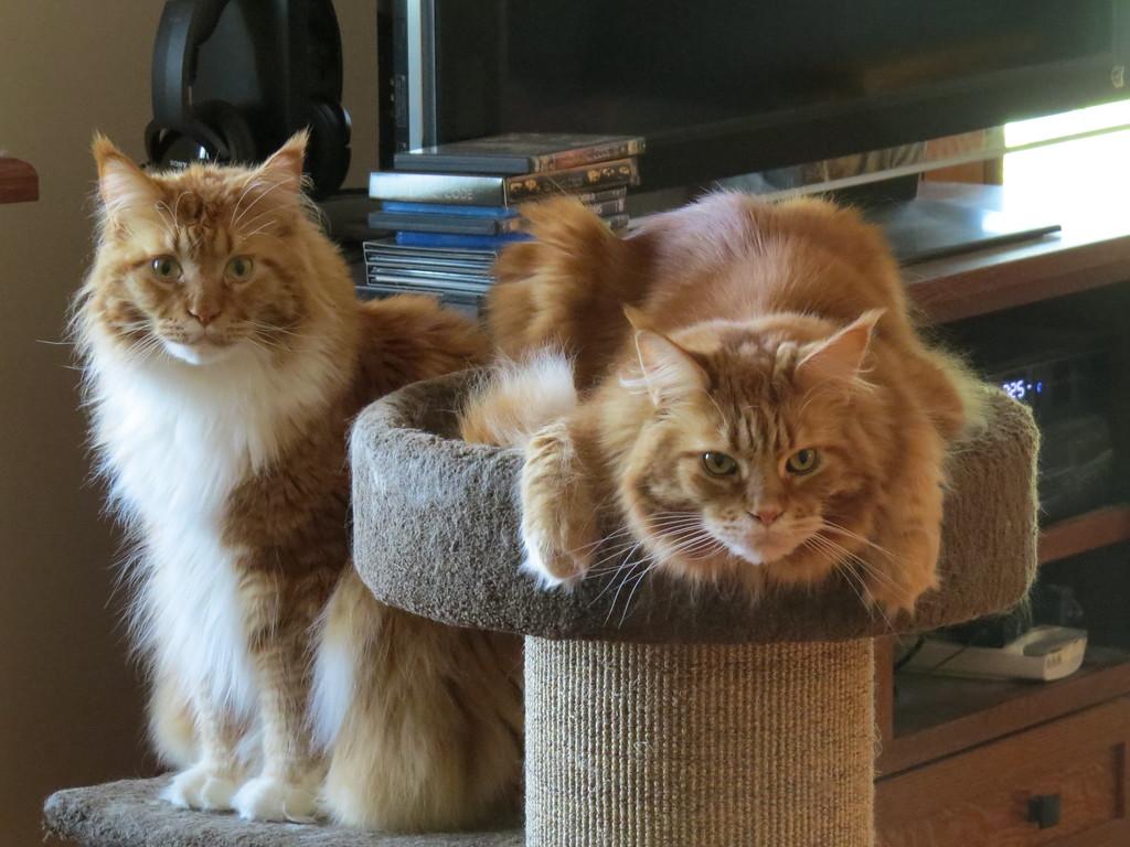 IMAGE: https://photos.smugmug.com/Animals/Cats-and-Horses/Red-Boys/i-ckD6G3v/0/7e7a54e4/XL/2016_06%20%2835%29-XL.jpg