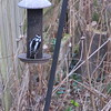 12-16-15 Dayton 02 woodpecker