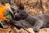 lying grey cat