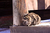 Sitting brown tabby fluffy cat