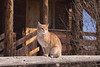 Sitting red tabby cat