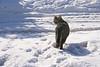 Strolling torby cat