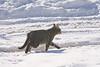Running tabby cat