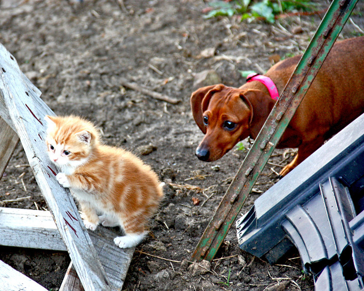 Silly Peaches - Peaches may seem a tad bit braver, but as you can see...she isn't always.  If the kitten made a wrong move, she would jump back...she was quite jumpy, and as you can see here would creep up behind the kitten to check her out...as long as the kitten didn't move.  LOL  Poor peaches, growing up with mean ol Autumn really did a number on her bravery.