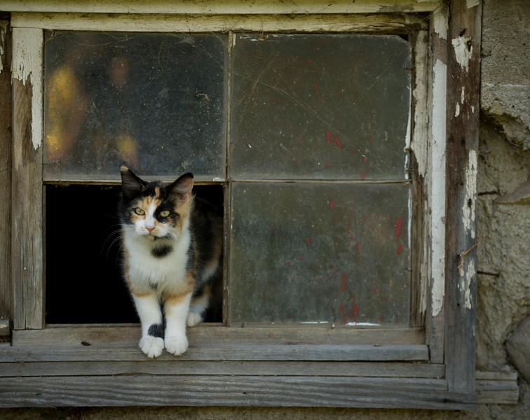 cat domestic (Felis catus)