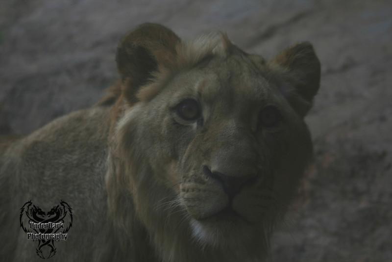 AZ-Lion 1