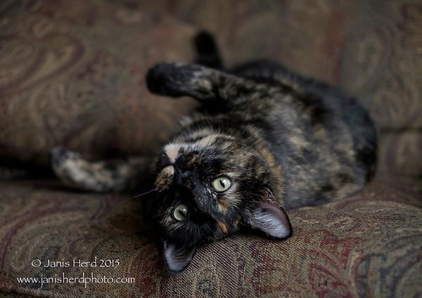 Ivy, tortoiseshell cat