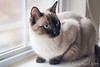 Sophie, Siamese mix cat