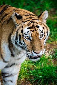 Puppy Eyes, Tiger Edition