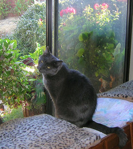 "Yoda He stumbled into our yard one day from his home next door, bleeding from the nose, barely able to walk, and at death's door. We had ""repaired"" him on previous occassions when his owners wouldn't care for him, but this time we said, ""Enough!"" We snatched him up, patched him up, and never gave him back. Once a tough, street-wise Tom, he's still a bit of a bully with some of the other cats, but he can also be a cuddly, affectionate teddy bear when he wants to be."