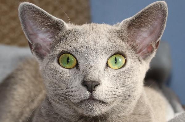 Smoke (Felis catus)