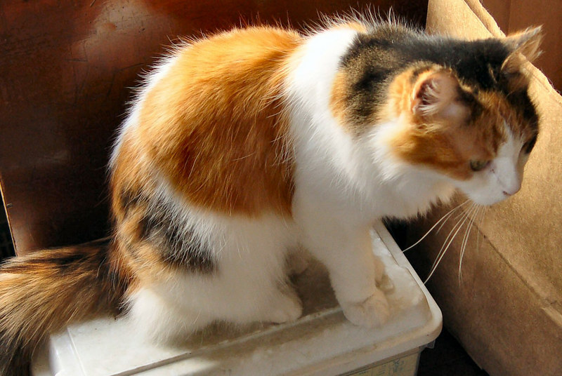 Callie, 1992-2004.  Our petite, pretty calico cat.