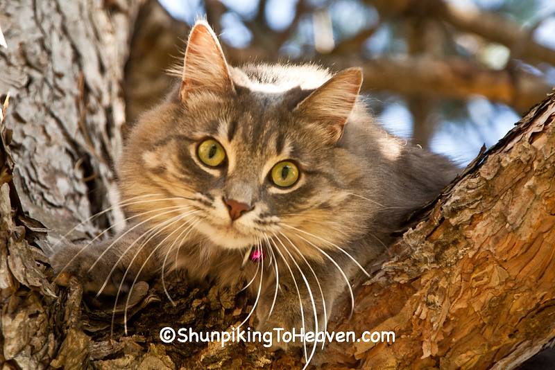 """""""Lily"""" the Gray Tabby Cat, Dane County, Wisconsin"""