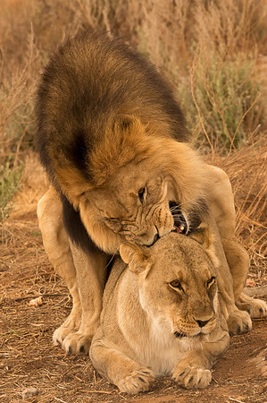 Lion mating pose