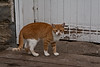 Barn Cat, Grundy County, Iowa