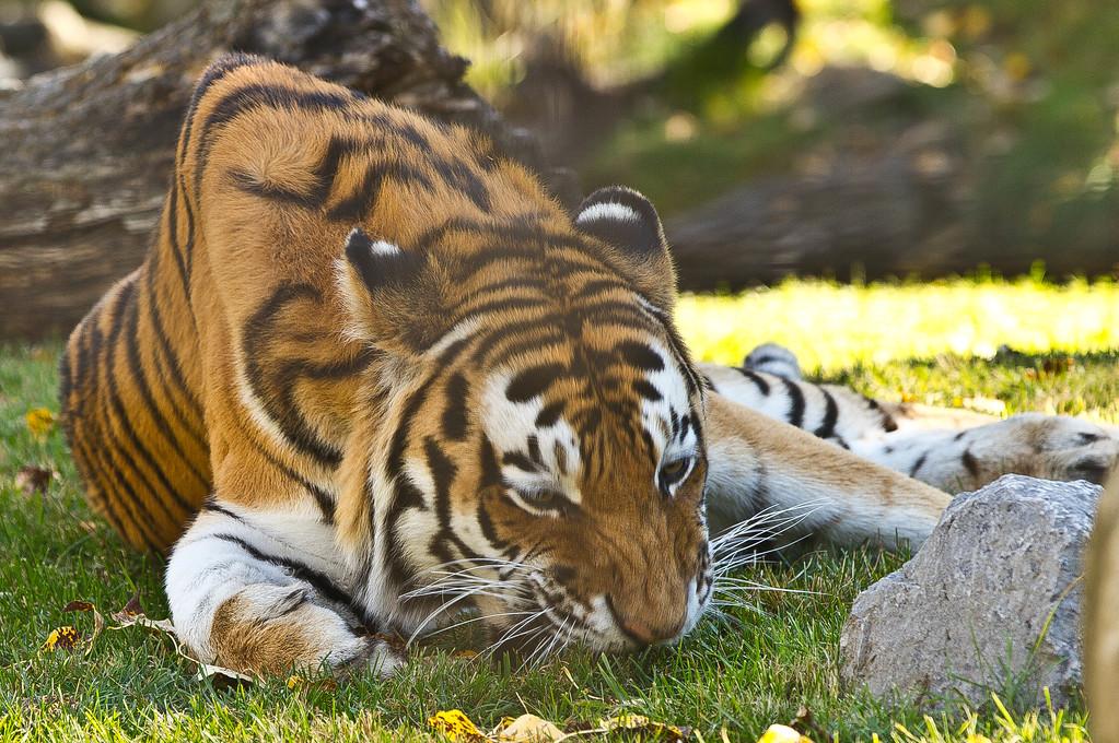 Tiger-6636