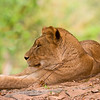 Lioness resting.