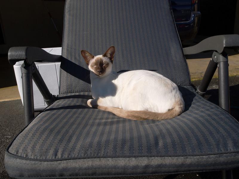 Siamese cat called Blondini