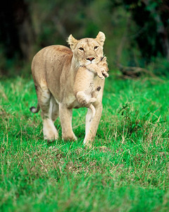 Mother lioness carries week old cub to safer nest.  Taken my last day in Africa.