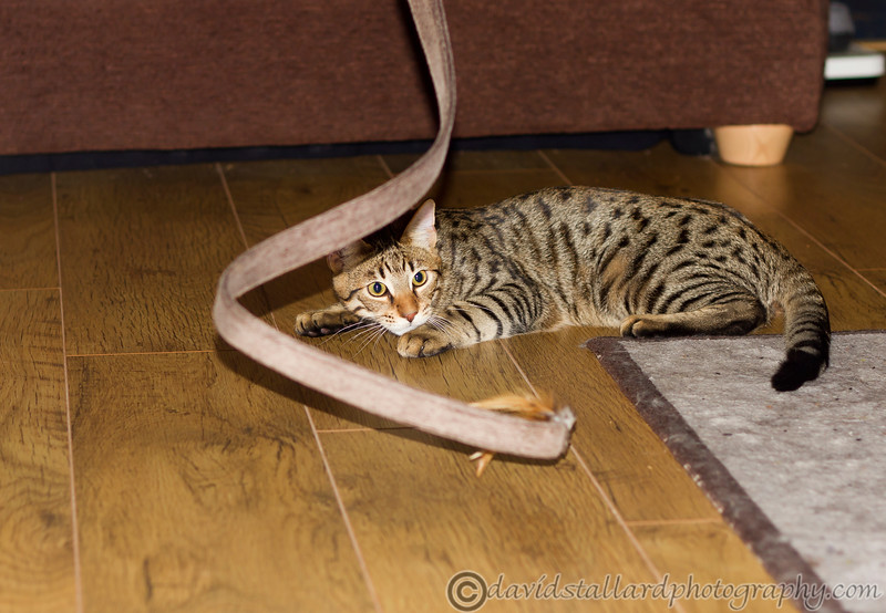 IMAGE: http://www.davidstallardphotography.com/Animals/Cats/i-SWLsKFP/0/L/MG7771-L.jpg