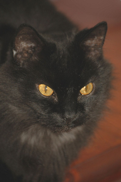 "Pete, our ""amiable black longhair."""